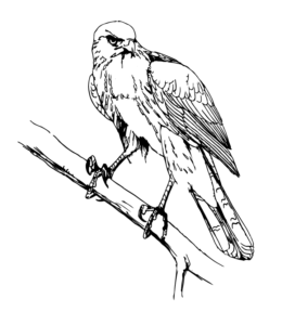 6600 Top Hawk Bird Coloring Pages , Free HD Download