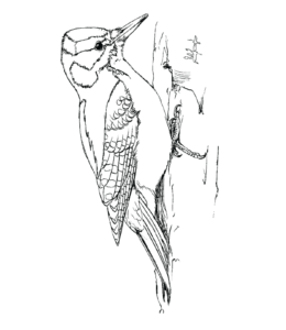 downy woodpecker coloring page - bird coloring pages playing learning
