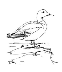 Feeder Bird Mallard Coloring Page For Kids